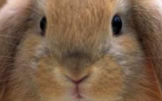 Можно ли подсадить крольчат к другой крольчихе