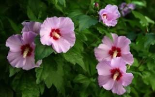 Выращиваем садовый гибискус