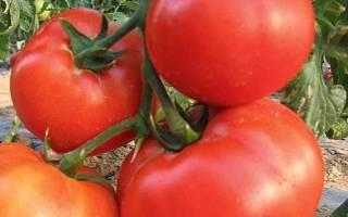 Как посадить и вырастить томат король королей