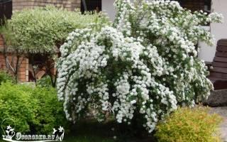 Как посадить и вырастить растение спирея аргута таволга у дома