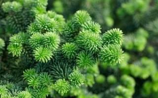 Хвойные растения виды и названия