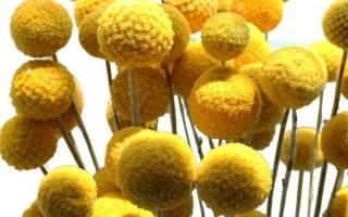 Особенности выращивания краспедии