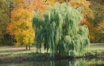 Дерево ива белая описание выращивание уход