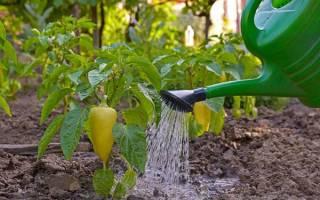 Как правильно поливать перцы в теплице