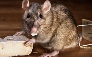 Самодельные ловушки для крыс как приманить и словить животное