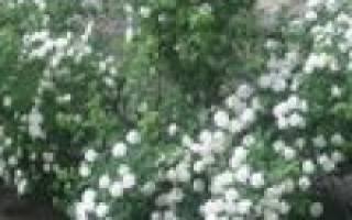Как посадить и вырастить растение спирея вангутта возле дома