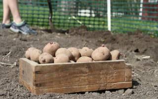Как правильно посадить картофель под лопату