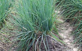 Выращиваем лук батун на своем огороде особенности посадки и ухода