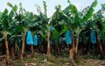 Азимина как вырастить банановое дерево в средней полосе