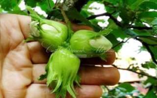 Посадка фундука в саду уход и выращивание