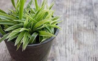 10 ка полезных комнатных растений с фото и описанием