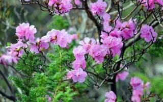 Садовый рододендрон выращивание в подмосковье и ленинградской области