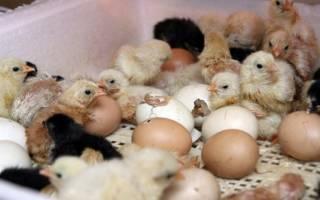 Как сделать инкубатор для яиц своими руками