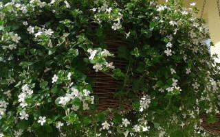 Выращивание и уход за декоративным растением бакопа