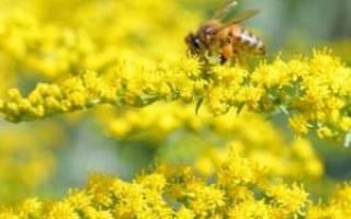 Как вырастить золотарник на дачном участке советы садоводам