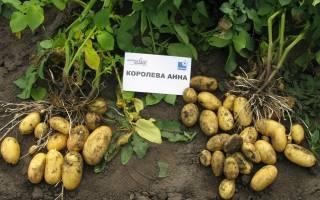 Картофель королева анна урожайный и устойчивый