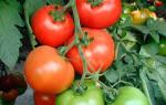 Томат верлиока описание сорта и агротехника выращивания