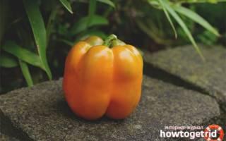 Перец оранжевое чудо описание и выращивание