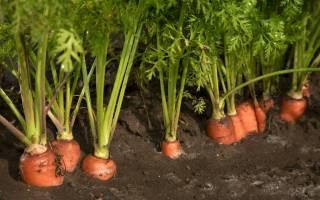 Удобрение и подкормка моркови в открытом грунте