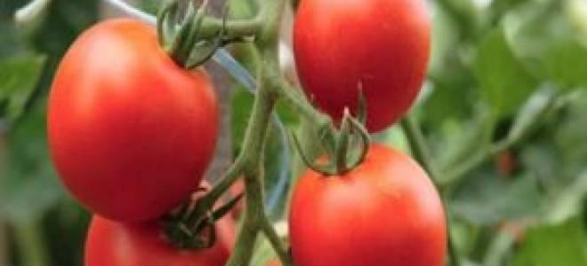 Как посадить и вырастить томат дамский угодник
