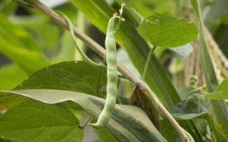 Выращиваем спаржу и спаржевую фасоль на своей грядке