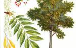 Виды дерева ясень подробное описание и фото