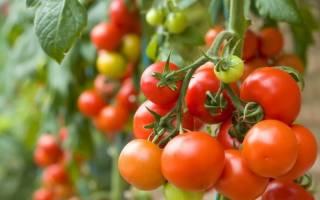 Лучшие сорта помидор устойчивые к фитофторозу