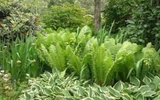 Выращивание садового папоротника особенности посадки и ухода