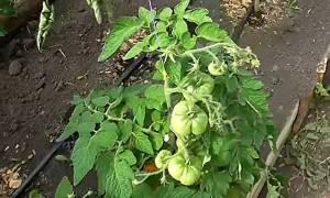 Гибрид индетерминантного типа для защищенного грунта помидоры паленка
