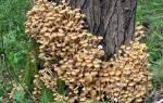 Как выглядят съедобные опята описание и виды грибов