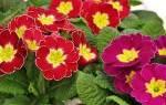 Советы по выращиванию комнатной примулы