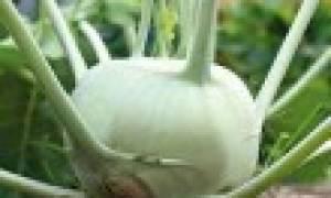 Капуста джетодор характеристика агротехника выращивания