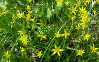 Гусиный лук или желтый подснежник выращивания первоцвета на даче