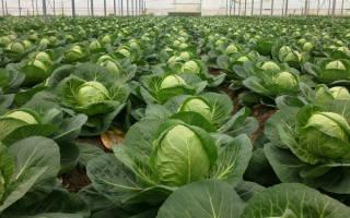 Как выбрать лучшие сорта капусты для засолки и квашения