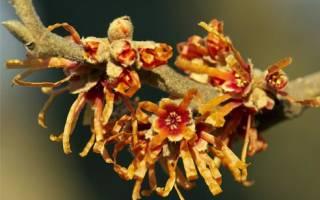 Гамамелис виды посадка и размножение особенности ухода