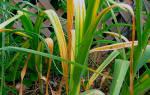 Причины пожелтения чеснока и их устранение