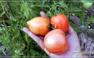 Легко и просто томаты на урале