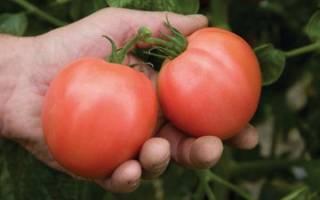 Неприхотливая селекционная новинка помидоры сорта торбей f1