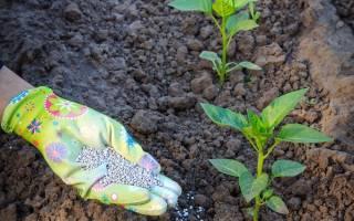 Подкормка полив формирование перца после высадки в открытый грунт