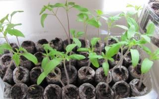 Как проращивать и как сажать семена томатов