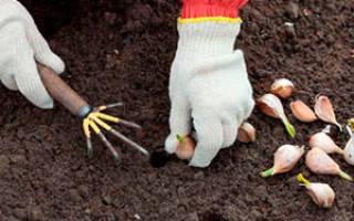 Когда и как сажать зимний чеснок в сибири дельные советы