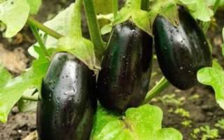 Выращивание баклажана сорта прадо посадка и уход за овощами