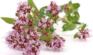 Как посадить душицу семенами особенности выращивания пряного растения