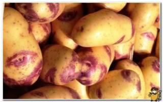 Картошка синеглазка характеристика агротехника выращивания