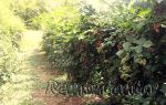 Выбираем новые сорта ежевики для выращивания в своем саду