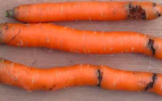Эффективные методы борьбы с морковной мухой на грядке