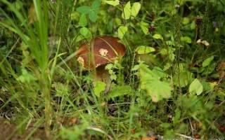 Какие грибы растут в ленинградской области