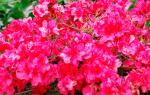 Как вырастить азалию в саду посадка и уход за растением