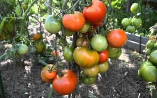 Особенности выращивания томата дубрава на дачном участке