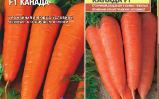 Самый урожайный сорт моркови канада f1